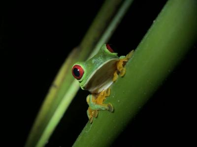 Costa Rica - tree frog photo by C Lissner